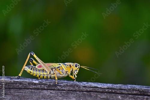 CLose up photo of a giant orange florida grasshopper walking on a piece of wood Canvas Print