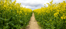 Clear Path Among The Bio Field With Still Growing Up And Unopened Yellow Flowers. Photo Before The Sunset Hour. Peaceful Nature. Beautiful Background. Concept Image.