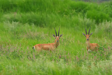 A Pair Of Indian Gazelles Antelopes Also Called Chinkara With Long And Pointed Horns Standing Amidst Green Grass Land At Rajasthan India
