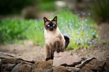 Siamese Cat Outdoors In The Ga...