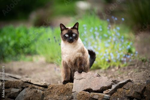 Obraz na plátně siamese cat outdoors in the garden