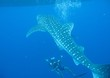 canvas print picture - Whale Shark Swimming In Sea