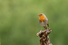 This Robin With Orange Breast Is Sitting On A Branch With A Green Background