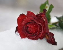 Close-up Of Red Rose On Snow