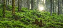 Black Forest Landscape - Sunset In The Forest With Fir Trees, Green Fresh Moss And Blueberry Bushes