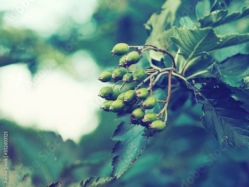 Fotografiet Close-up Of Berry Fruits Growing On Tree