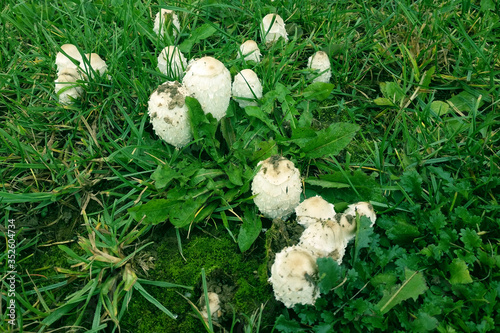 Photo Coprinus comatus of grass, the shaggy ink cap mushroom on the meadow