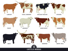 Set Of Twelve Popular Cattle Breeds Flat Vector Illustrations Isolated Objects Cattle Breeding And Stock Raising Farming Today