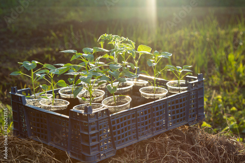 Growing vegetable seedling in tray, agriculture concept #352623155