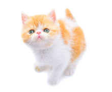 Isolated Portrait Cute Persian...