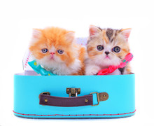 Two Isolated Persian Kittens W...