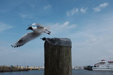 Low Angle View Of Black-headed Gull Flying By Wooden Post At Harbor