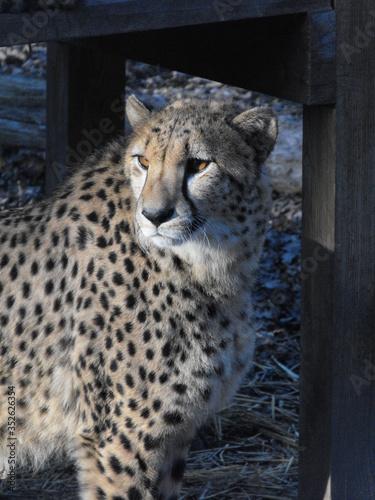 Valokuvatapetti Close-up Of Cheetah On Field