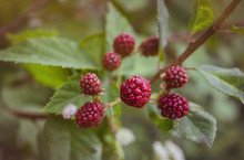 Ripening Blackberries In A Summer Garden