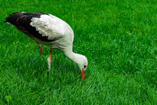 Heron Bird Ornithology Animal Photography Wild Life Scenic View With Vivid Green Grass Clean Nature Background Copy Space