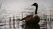 Close-up Of Canada Goose Swimming On Lake