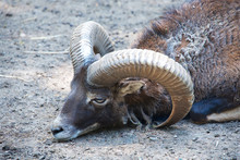 Close-up Of Bighorn Sheep Rest...