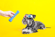 Dog. Miniature Schnauzer. Posing In The Studio On A Yellow Background.