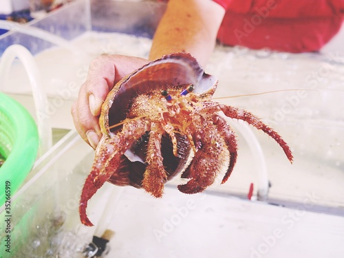 Fototapeta Cropped Hand Holding Hermit Crab