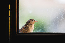 Sparrow Peeking Out Of Dirty Window Glass, Looking To The Right Direction. Space For Text