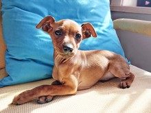 Portrait Of Lap Dog Sitting On Sofa