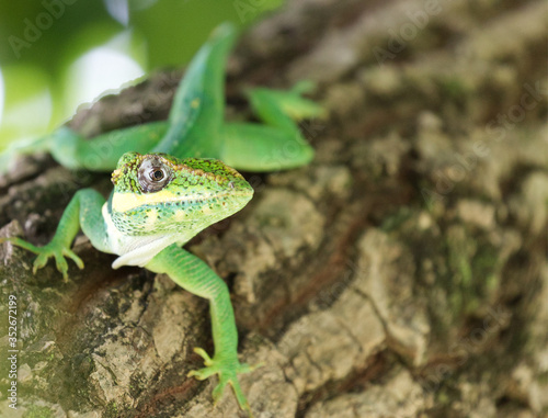 Cuban Knight Anole Canvas Print