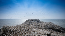 Gannets On Shore Against Sea