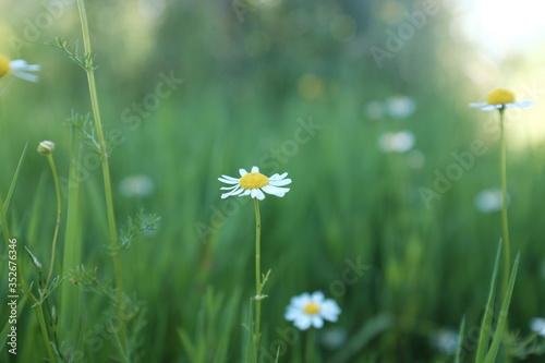 Fényképezés Close-up Of White Daisy Flower On Field