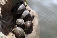 High Angle View Of Turtles On Rock By Pond During Sunny Day