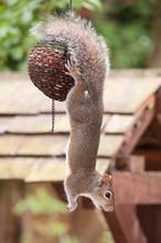 Close-up Of Squirrel Hanging O...