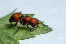 Red Velvet Ant (Dasymutilla Occidentalis)