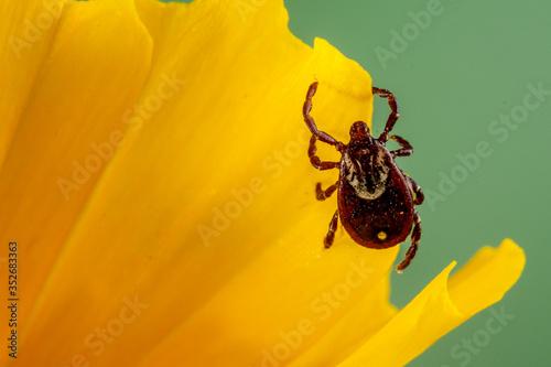 Photo American Dog Tick (Dermacentor variabilis)