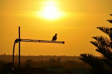 Silhouette Pigeon Perching On Television Antenna Against Orange Sky During Sunset