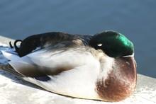 Mallard Duck Relaxing Against Lake