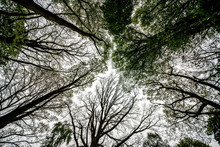 Winde Angle Looking Straight Up Of Ancient English Deciduous Woodland Canopy In Spring.