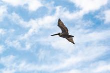 Brown Pelican Flying Overhead On Jeckle Island In Georgia.