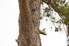 Red-headed Woodpecker Sitting ...