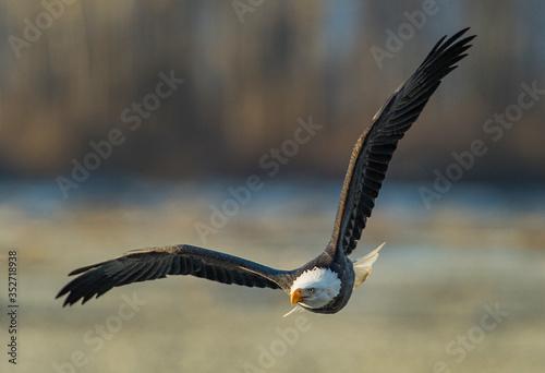 Valokuva Bald Eagles