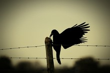 Crow Perching On Wooden Pole A...