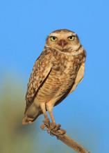 Close-up Portrait Of Burrowing...