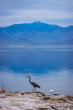Salton Sea Great Blue Heron