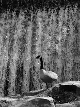 Goose On Rocks By Waterfall