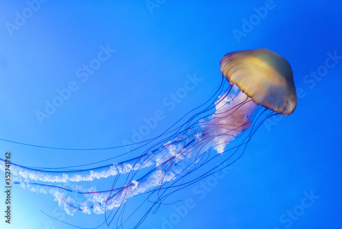 Valokuva Orange jellyfish (Chrysaora fuscescens or Pacific sea nettle) in blue ocean wate