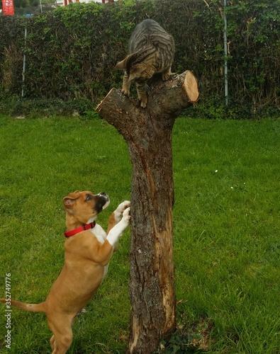 Boxer Chasing Cat On Tree Trunk Tapéta, Fotótapéta