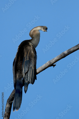 Obraz na plátně African darter (Anhinga rufa)