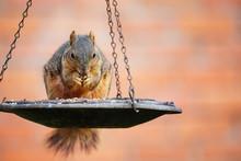 Squirrel (Sciurus Niger) Eatin...