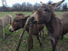Close Up Of Donkeys On A Field.