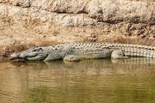 Nile Crocodile On The Riverbank At Mara River