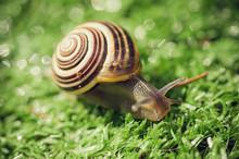 Vineyard Snail In The Garden