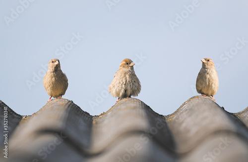 Leinwand Poster sparrows sitting